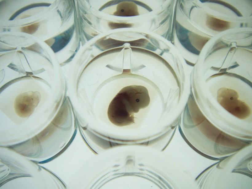 Embryos in agarose blocks